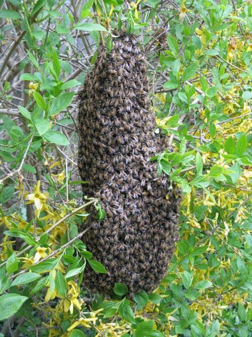 forsythia swarm
